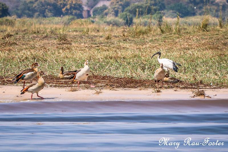 Birds Along Chobe River