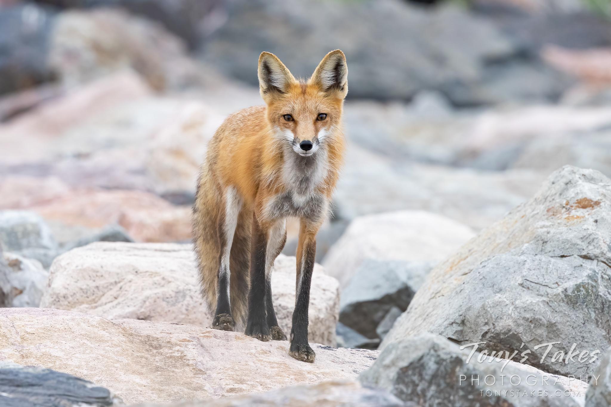 Fox on the rocks for Fox Friday
