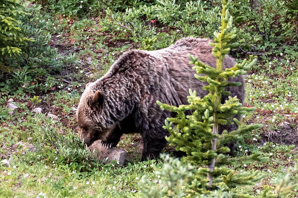 7-21-20 Grizzly Bear Mom & 3 Cubs I
