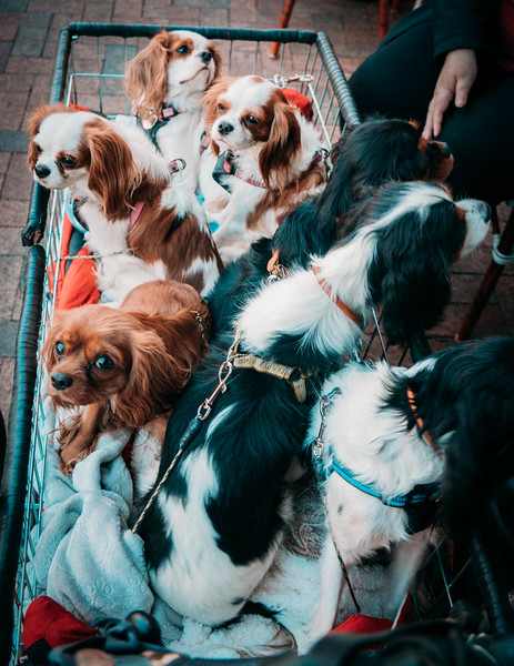 Basket of Spaniels at Pearl 1.jpg