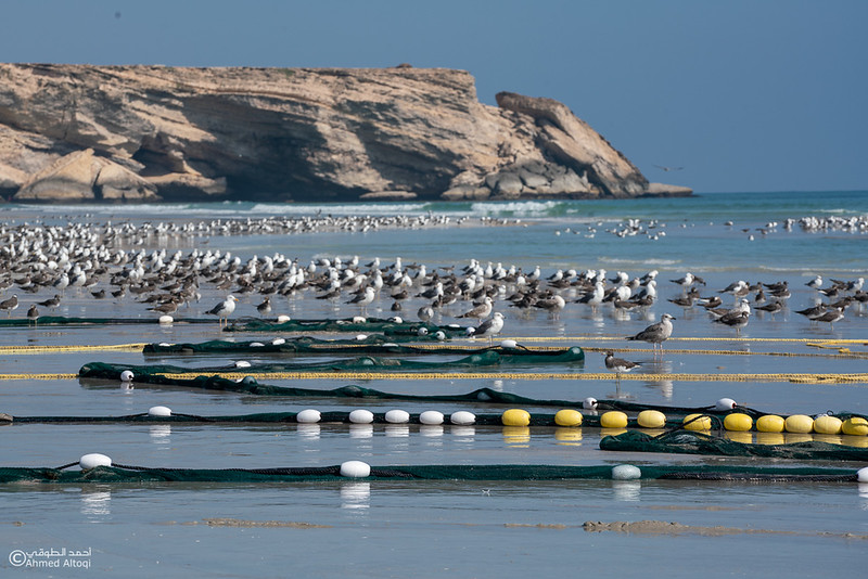 Sardeen season -Oman (29).jpg