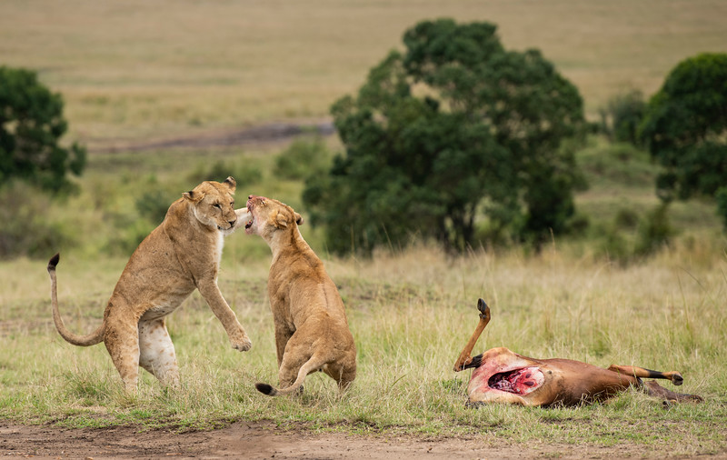 Lions-play-fight-with-topi-kill-mara.jpg