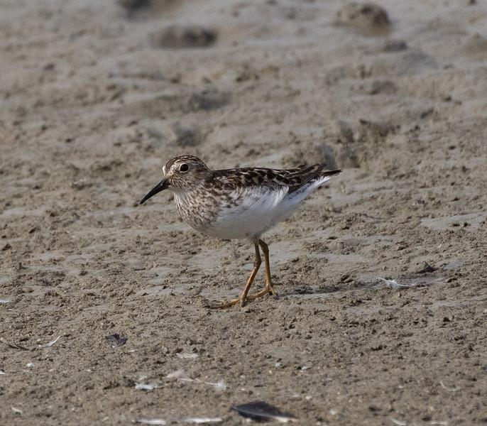 Least Sandpiper San Elijo Lagoon 2021 0628-1.CR3