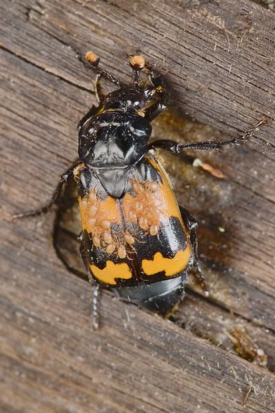 Margined Burying Beetle