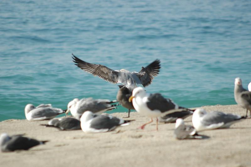 gulls (6).JPG