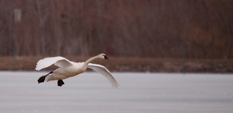 2011 swan migration aylmer (24 of 51).jpg