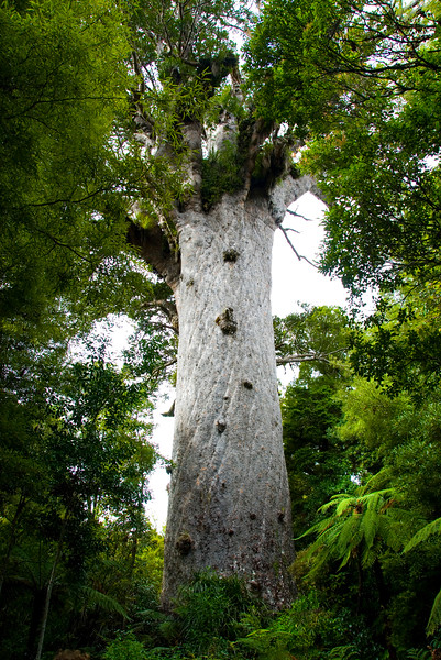 Tane Mahuta, Kauri trees, Waipoua Forest, SH 16, Northland