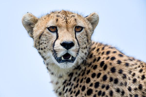 Cats of Tanzania