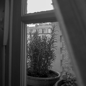 Rosemary plant, apartment kitchen window, Paris 11eme