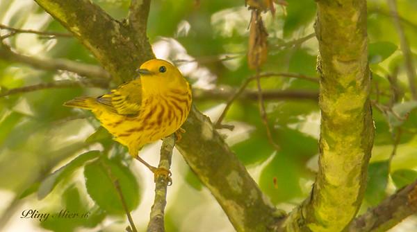 Yellow Warbler5_DWL1663.jpg