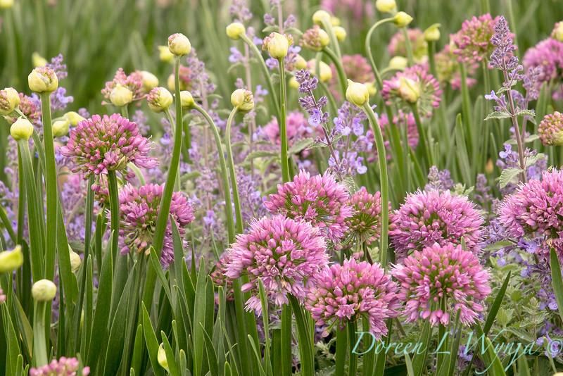 40056 Allium 'ALLMIG1' Millenium_3964.jpg