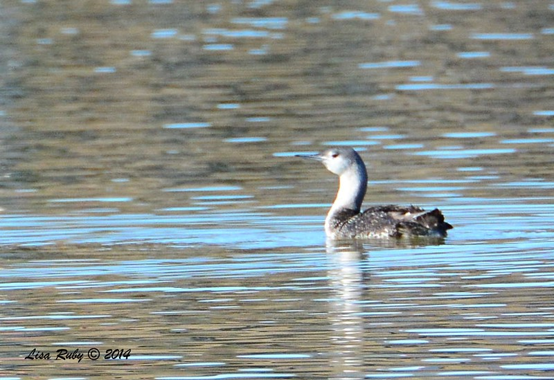 Red-throated Loon - 12/29/2014 - Lindo Lakes