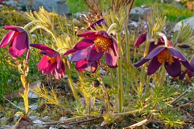 DAY 134 - May 14, 2011 - Pasque Flower in Evening Light Cynthia Meyer, Tenakee Springs, Alaska