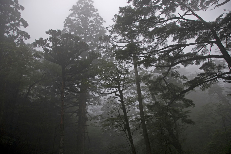 Fogs at the canopy in Yakusugi Cedar Grove in Yukoshima, Japan