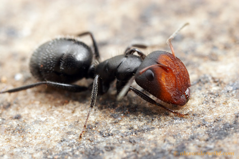 Camponotus ulcerosus major worker, showing the enlarged head she uses for plugging the nest entrance.  Sierra Vista, Arizona, USA