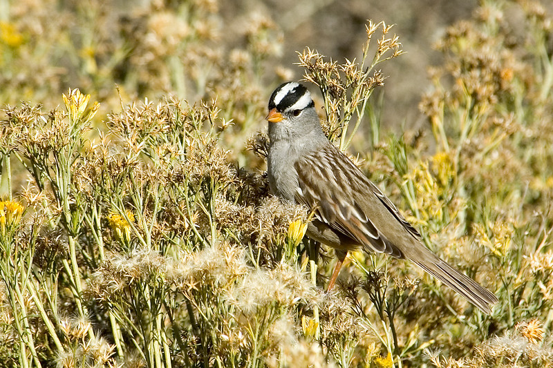 Sparrow - White-crowned - Bosque del Apache NWR - NM - 02