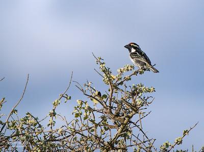 Acacia Pied Barbet (Tricholaema leucomelas)