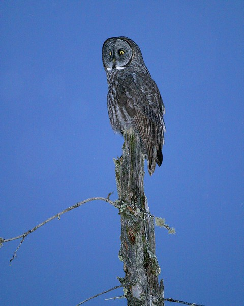Believe it or not, this photo of a hunting Great Gray Owl was taken at dusk with what appeared to be a gray sky, The digital camera picked up the blue in the sky [January; Sax-Zim Bog, Minnesota]