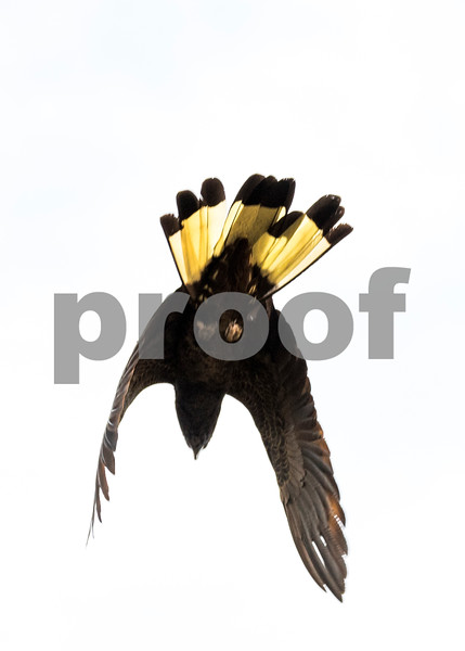 Black coockie 5.jpg