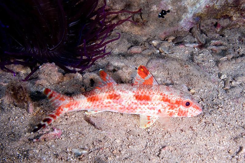 Red Freckled Goatfish.jpg