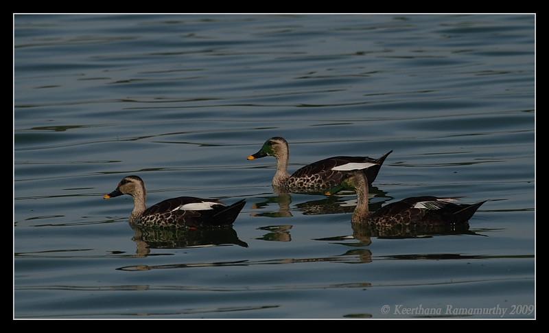 Spot-billed ducks, Kukkarahalli Lake, Mysore, Karnataka, India, June 2009