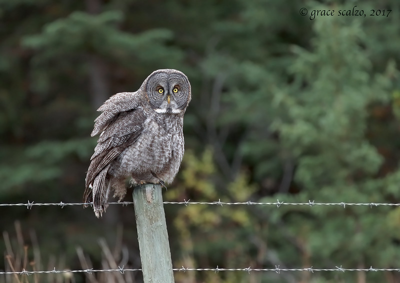 Great gray owl fluffing