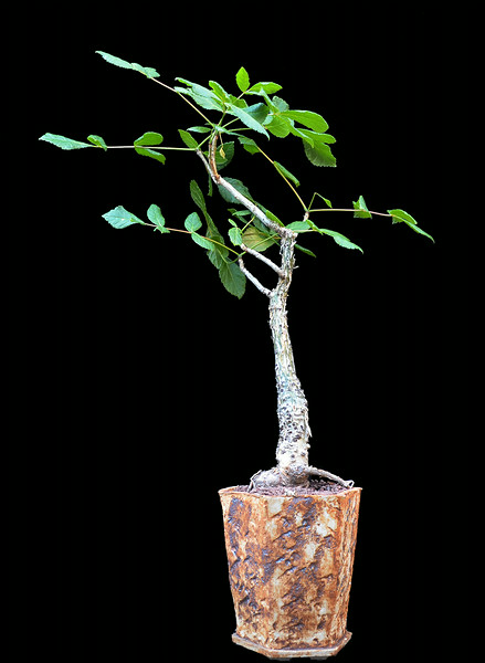 Commiphora guillauminii