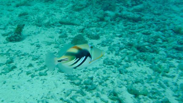 Picasso triggerfish, Rhinecanthus aculeatus