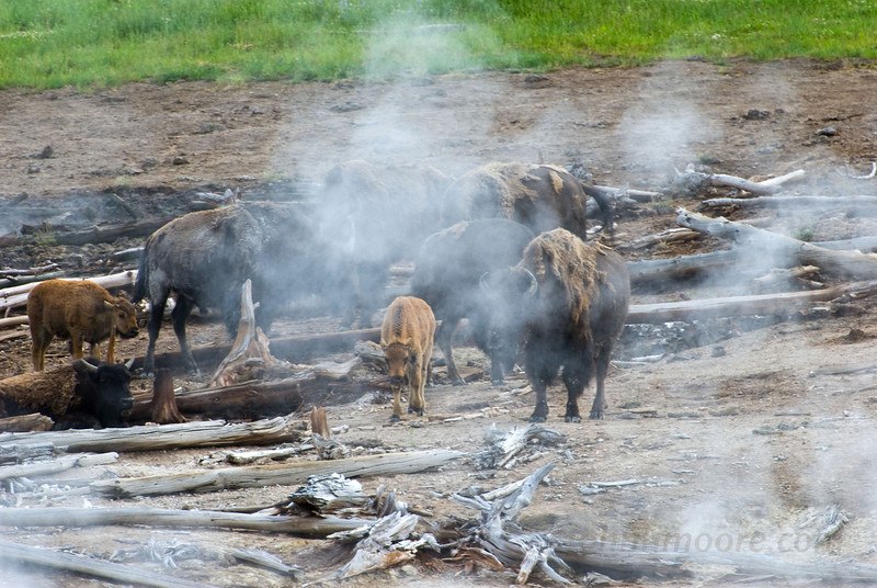 Bison and steam