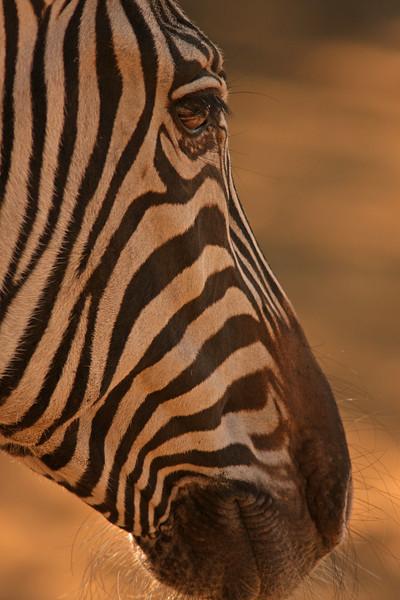 WB~Zebra, Grant's, Safari West Preserve, Santa Rosaprint.jpg