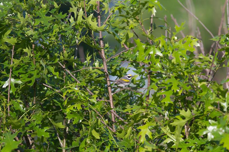 Golden-winged Warbler Crex Meadows Grantsburg WI-0174.jpg