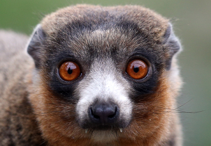. A mongoose lemur at Bristol Zoo Gardens on May 22, 2013 in Bristol, England.  (Photo by Matt Cardy/Getty Images)