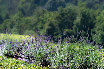 Visit to Hope Hill Lavender Farm in Pottsville, PA