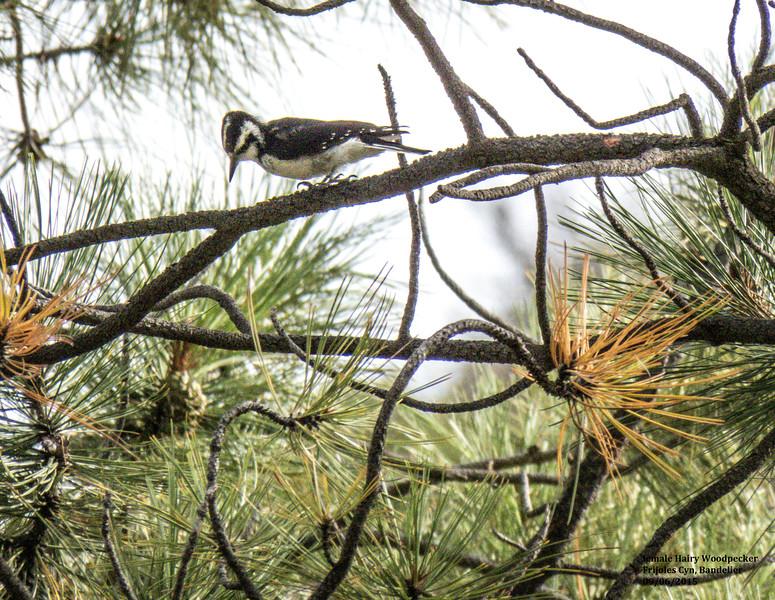 IMG_8765 T fml Hairy Woodpecker Bandelier.jpg
