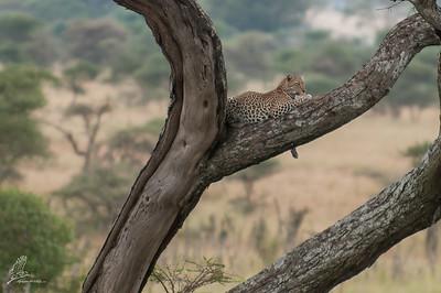 Leopard ▸