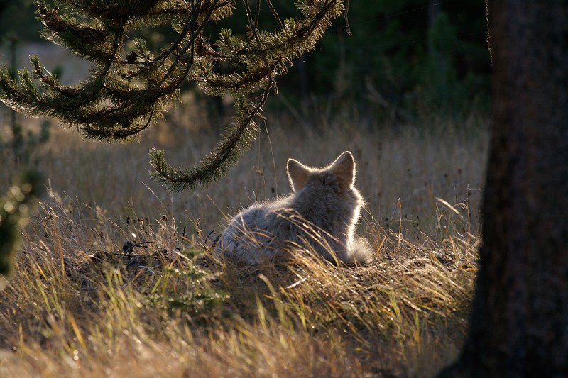 All animals must rest; This Coyote is taking a break from hunting in the warm autumn sun [September; Yellowstone National Park, Wyoming]