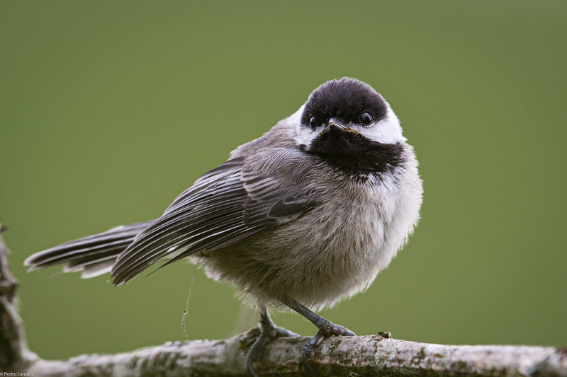 I Want To Be a Chickadee When I Grow Up-2.jpg