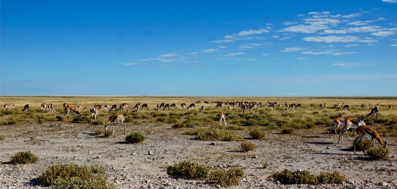 Gazelles in Etosha