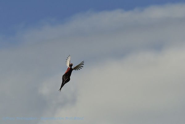 Fazant; Phasianus colchicus; Fasan; Pheasant; Faisan de Colchide