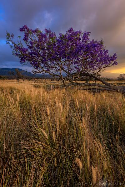 Jacaranda at sunset - Pu'u Wa'a Wa'a State Park