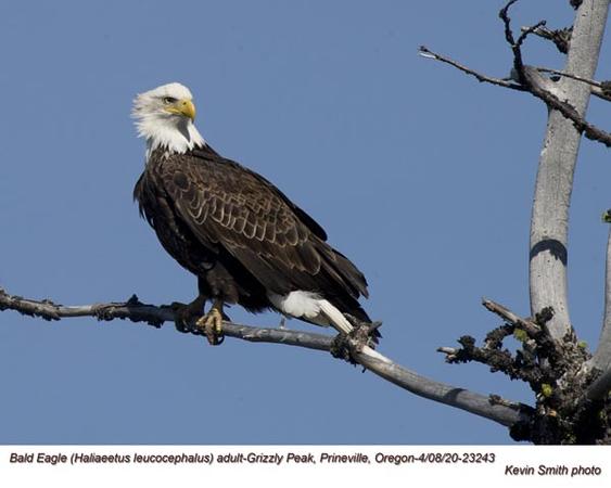 Bald Eagle A23243.jpg