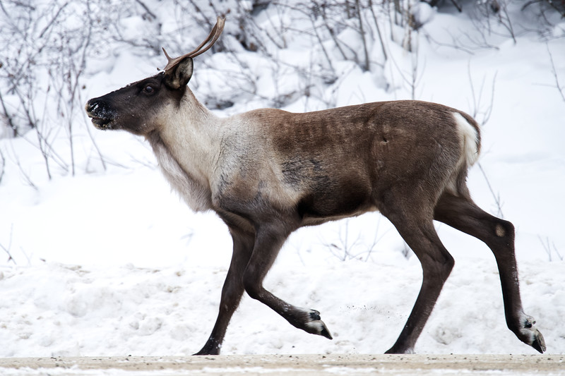 Caribou on the Alaska Highway