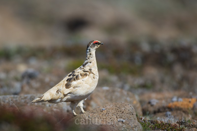 Rock Ptarmigan in Iceland highlands