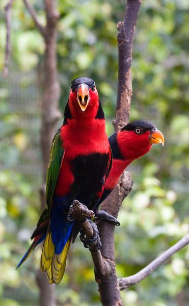 Lories in Jurong BirdPark, Singapore