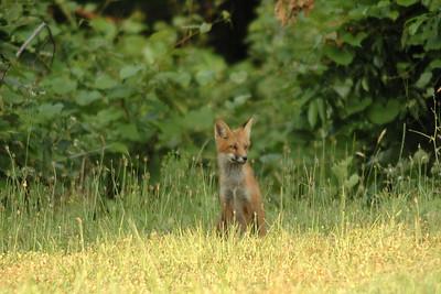 Fox Pups 6-21-08