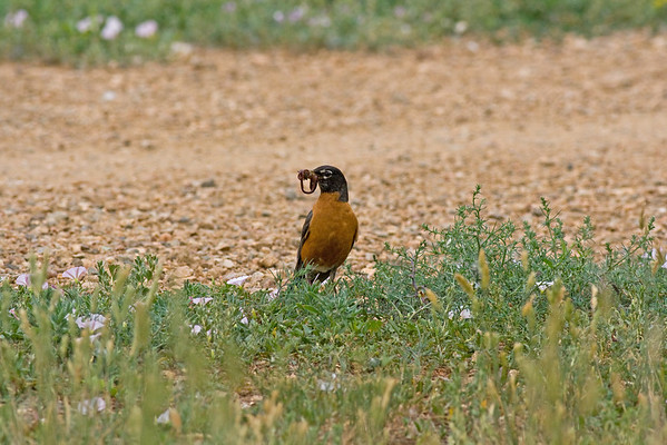 Bluebirds, Robins, & Other Thrushes