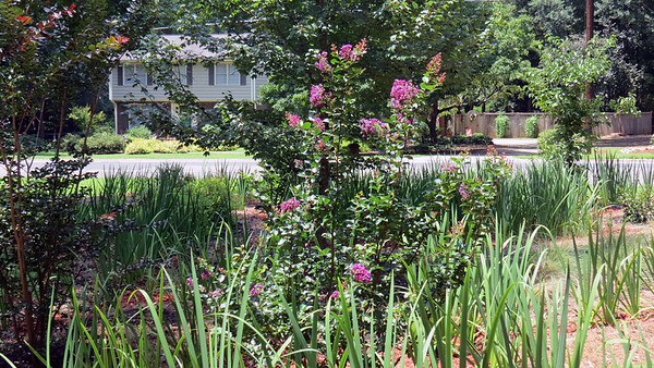 July 27:  The Crape Myrtles are blooming .  .  .