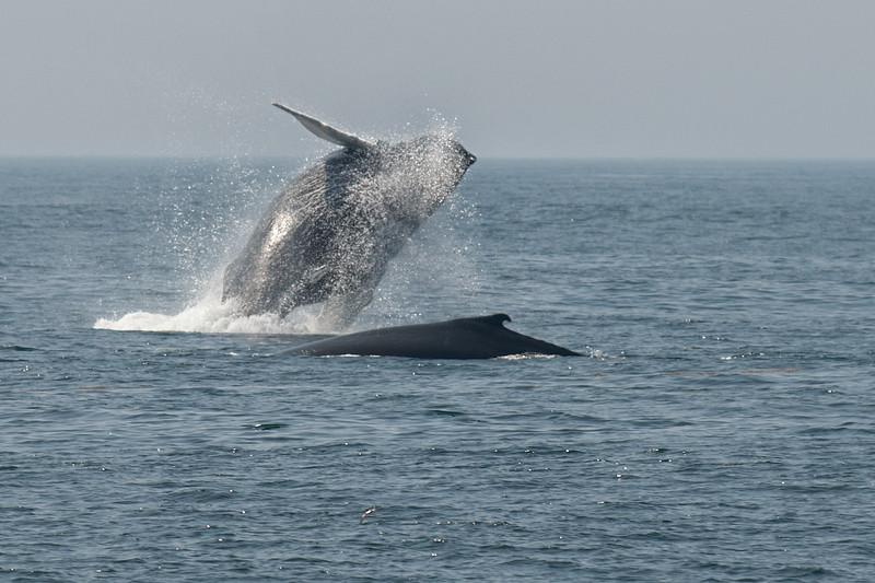 breaching humpback2.jpg