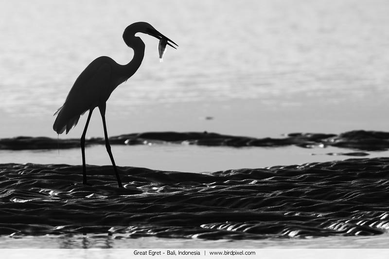 Great Egret - Bali, Indonesia