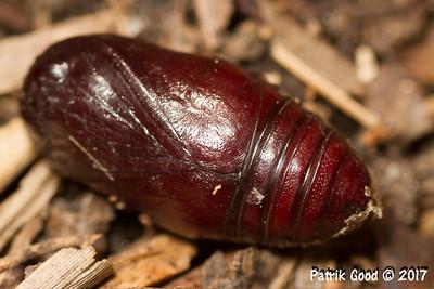 Chevron Cutworm Moth